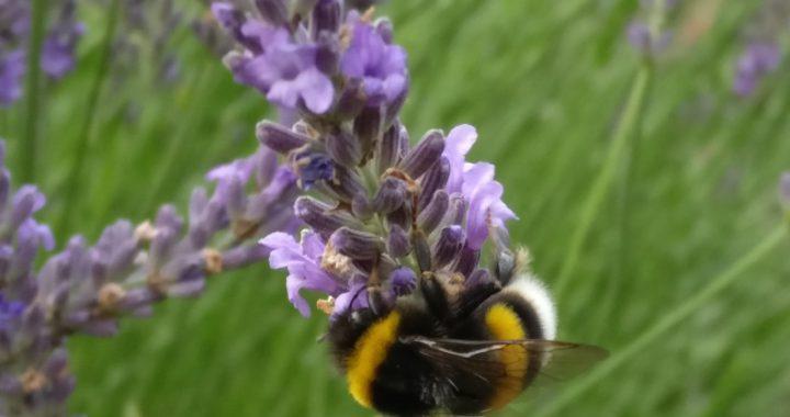Beitragsbild_Hummel_an_Lavendel
